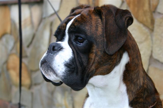 Dog Breed Directory: Boxer Dog Breed