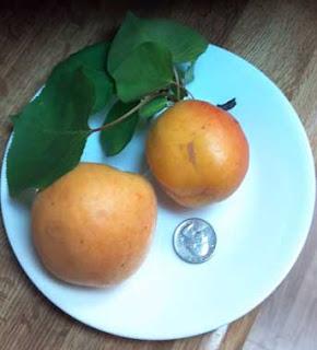 apricots vs. a quarter