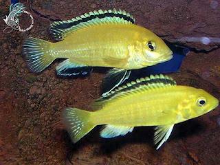 Cá Ali vàng vằn