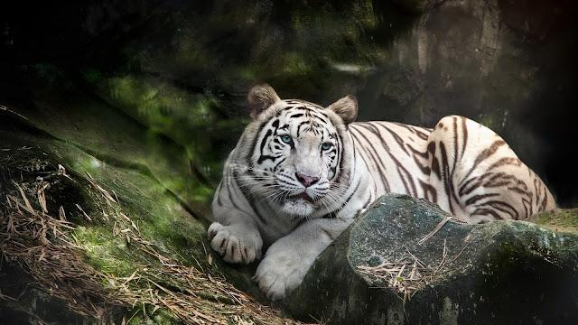 Fondo de pantalla tigre blanco en la selva