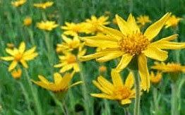 arnica dangerous herbs