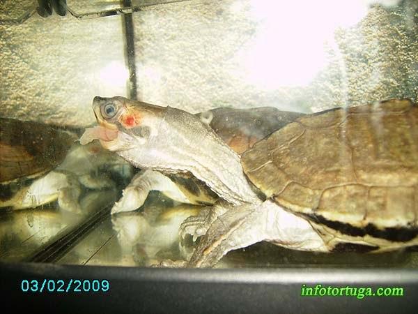 Pangshura smithii comiendo