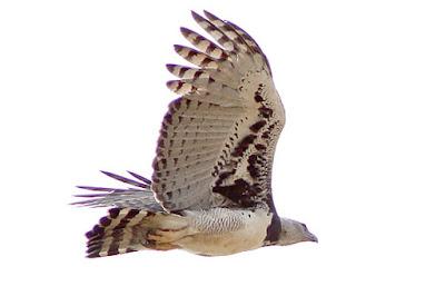 Harpy Eagle, Los Amigos
