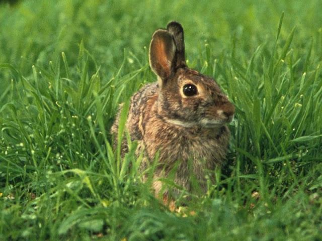 Vânatul iepurilor de câmp ar putea fi INTERZIS ÎN MOLDOVA.