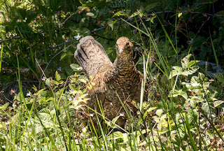 We nearly stepped on this grouse's chicks! Shot on Ginger Goodwin