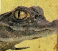 Croc on a Scrabble bracelet