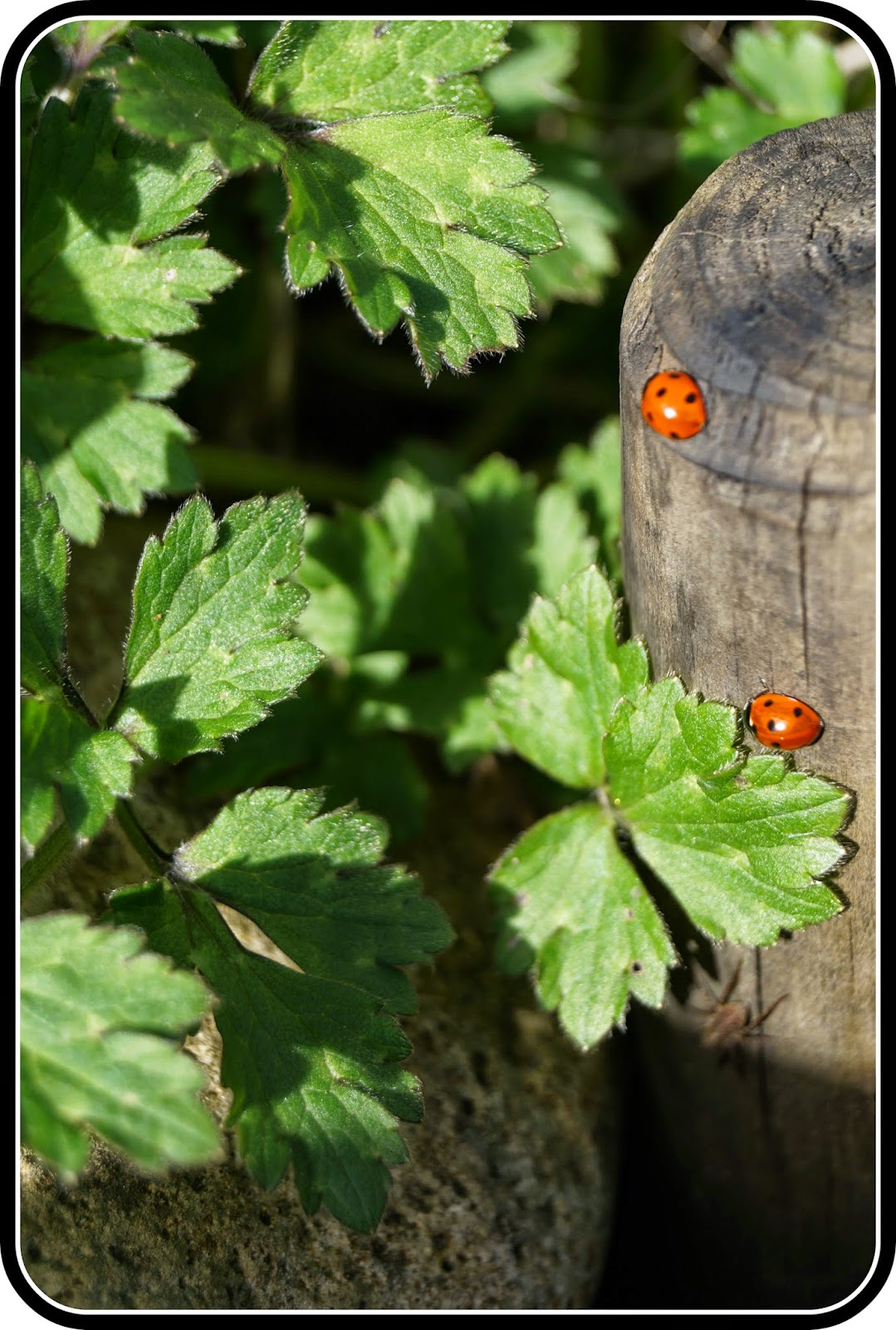 A loveliness of ladybirds - 'growourown.blogspot.com' ~ an allotment blog