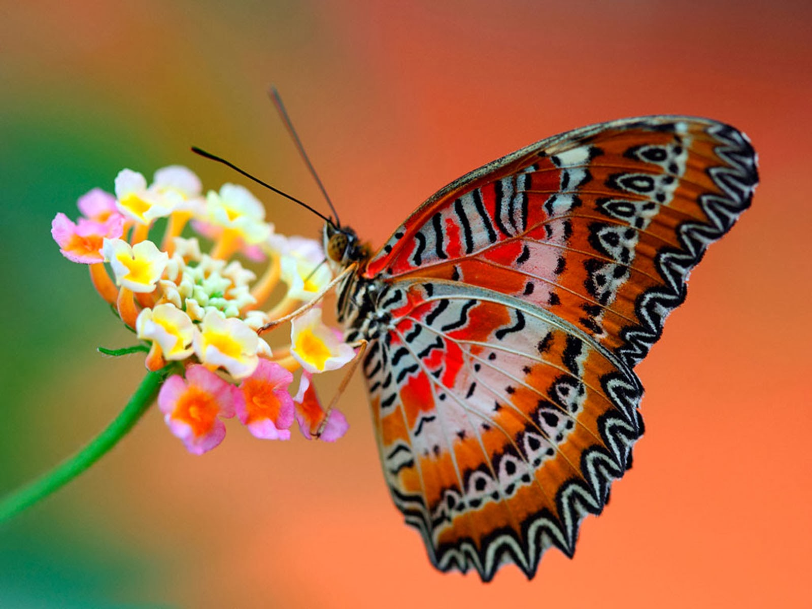 butterfly wallpapers flying - photo #22