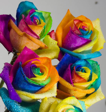 Colors of roses mixed colour roses rainbow roses for Dual color roses