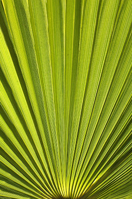 palm, plant, art, arte, optical, illusion, photograph, green, S. Myers, Sarah Myers, sunburst, ridges, fan, stripes