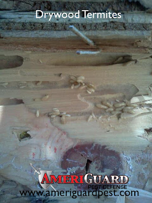 Drywood termites chewing wood
