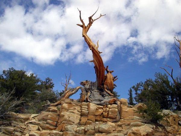 عينات '' لاقدم شجرة'' في العالم بالصور 17_Bristlecone_CA.img_assist_custom-600x450