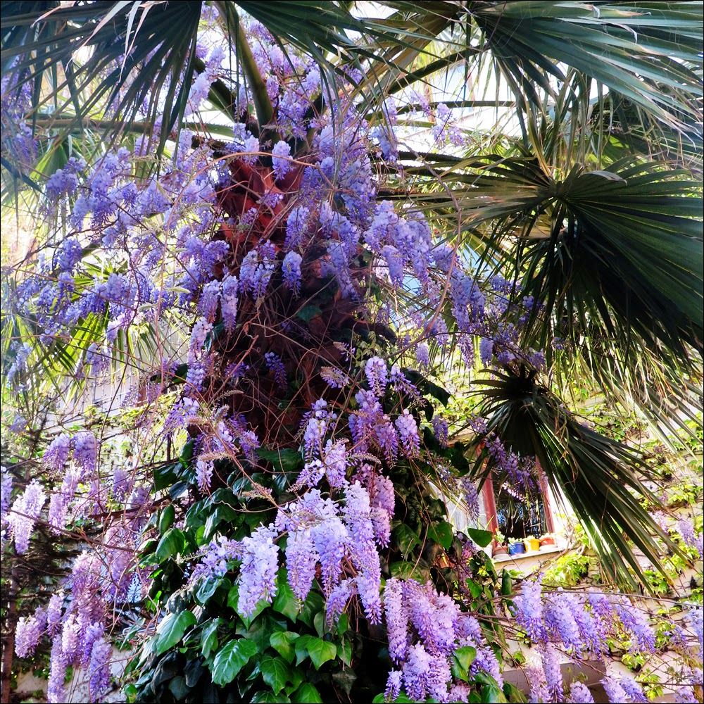 The adventures of c m kosemen spring blossoms from istanbul in some parts of the city wisteria blossoms envelop walls trees and sides of buildings in dreamy cascades of white red lilac and purple flowers mightylinksfo