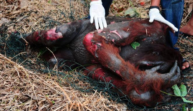 Ini Dia Kronologi Orangutan Terbakar Mati