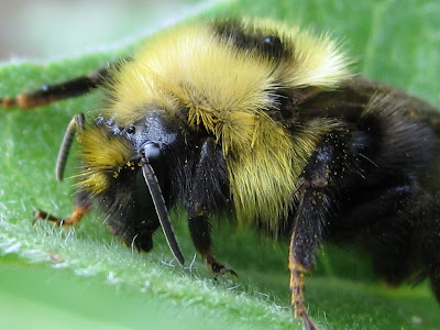 closeup of a bee on a leaf