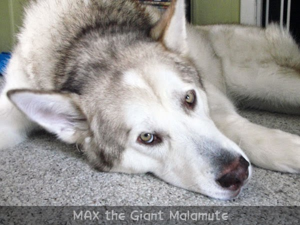 Giant Malamute Dog