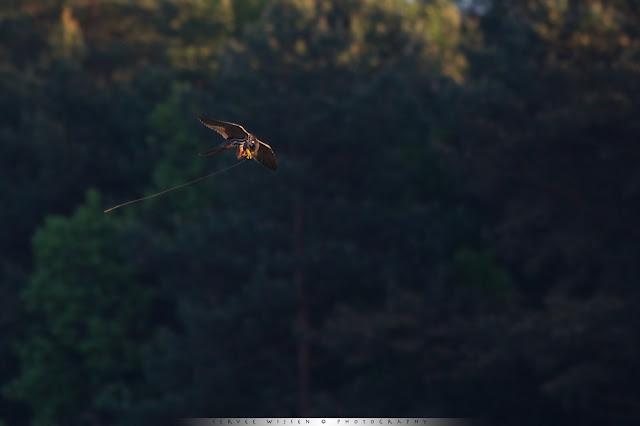 Boomvalken eten insecten op in de lucht. Soms pakken ze een grasspriet mee met hun prooi - Hobbies eat insects they catch in the air. Sometimes they catch grass with their prey.