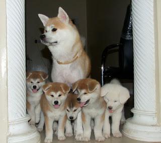 Cute American Akita Puppies