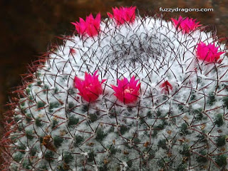 Cactus Flowers Photo