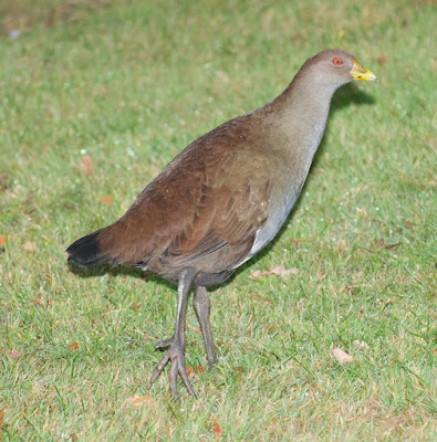 Tasmanian Native Hen (Tribonyx mortierii)