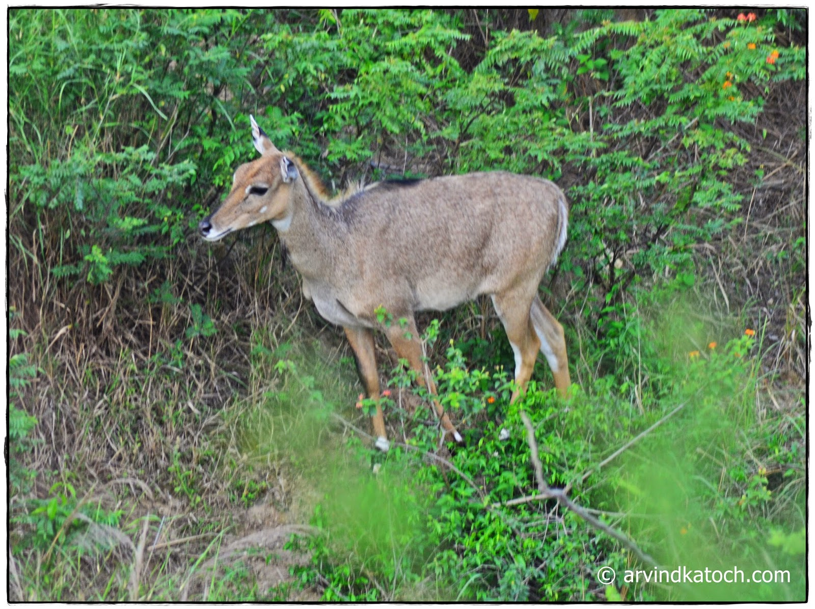 Sanber, Female, deer, Punjab,