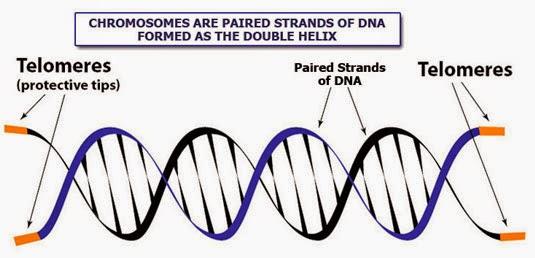 Tolemere, toplemeres, kromosom