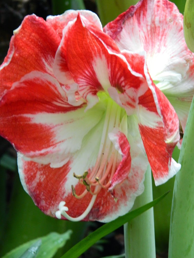 Prelude Amaryllis Hippeastrum Allan Gardens Conservatory by garden muses-not another Toronto gardening blog