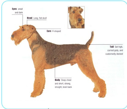 online dog breeds airedale terrier