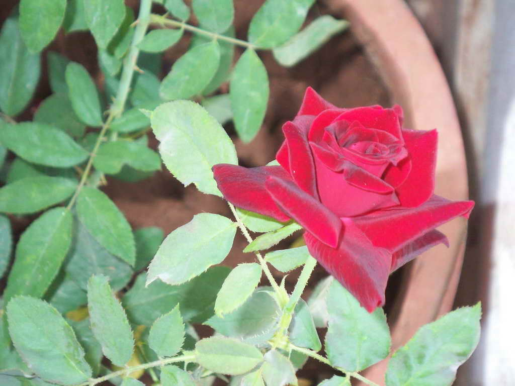 Flowers to plant with roses bing images - When to plant roses ...