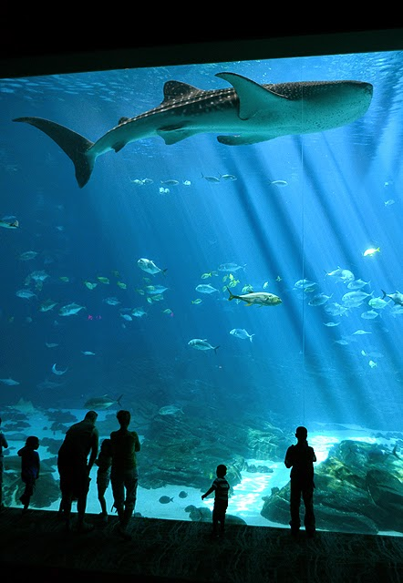 Swim with Gentle Giants, Whale Sharks, Georgia Aquarium