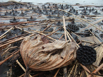 washed up lotus seed pods, shore, lake, winter