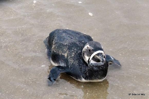 O pinguim foi encontrado com um lacre plástico prenso do bico ao pescoço