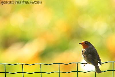 oiseau animal rouge-gorge nature Nesles Seine-et-Marne