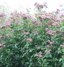"Eupatorium cannabinum ""Florio Pleno""-Double Hemp Agrimony"