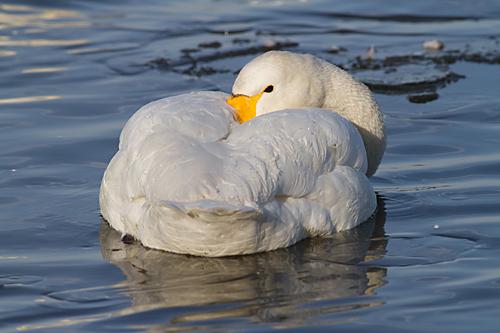 Whooper Swan  Caerlavarock Feb 2012