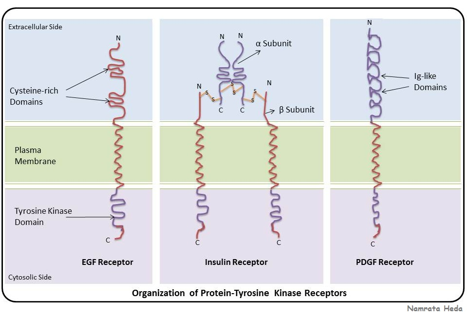 all the receptors under protein tyrosine kinases have a common    Tyrosine Kinase Structure