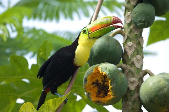 The Keel Billed Toucan Has a
