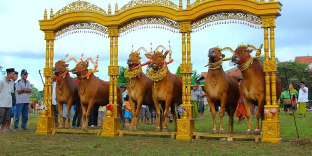 Sejarah, Tradisi dan Kontes Sapi Sonok di Madura foto Travel.Kompas.com