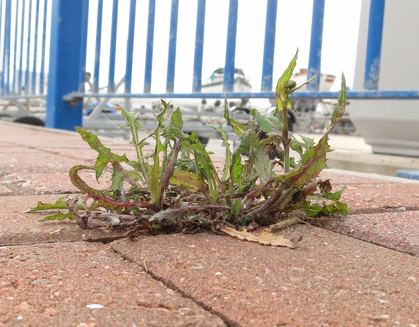 Sow Thistle growing through brick pavement in front of blue railings