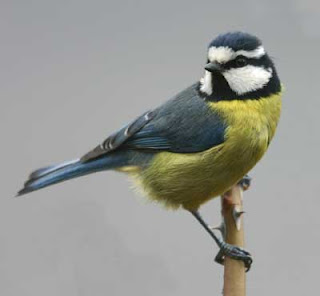 birds, blue tit, birds, garden birds