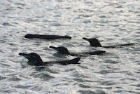 Galapagos Penguin Group Swimming on the Ecuator