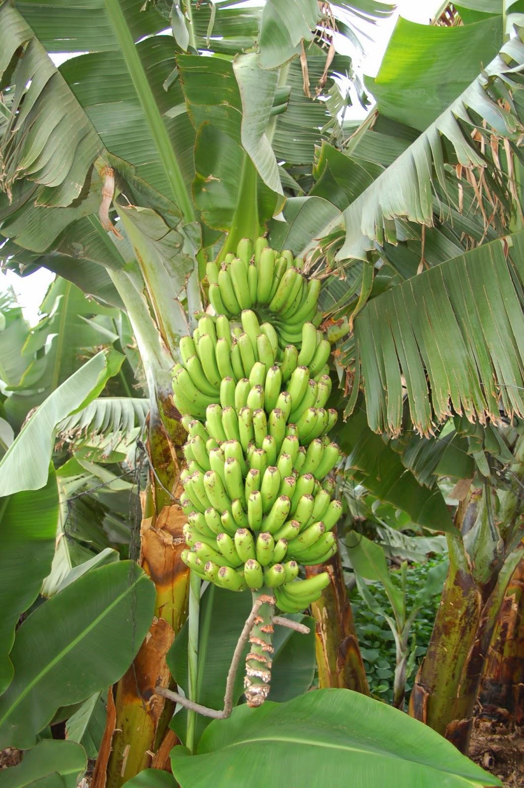 La vida secreta del pl tano conocer la agricultura y la for Banano de jardin