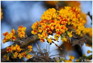 El Chañar, un árbol noble