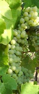Viognier grape