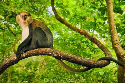 Diana monkey