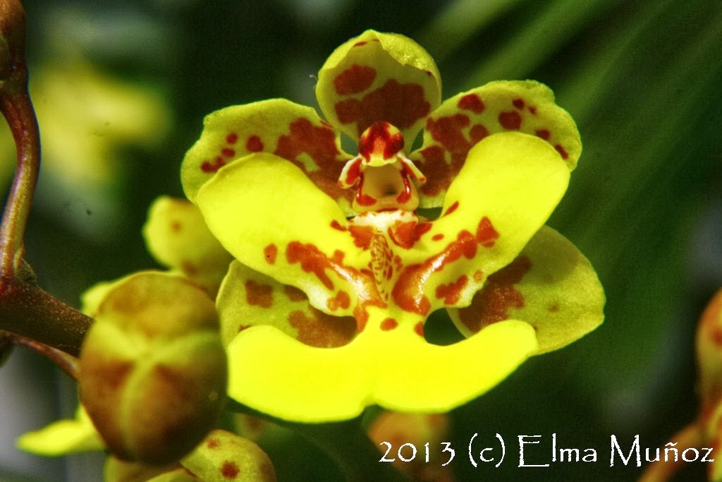 Oncidium cebolleta. Orquideas del Perú