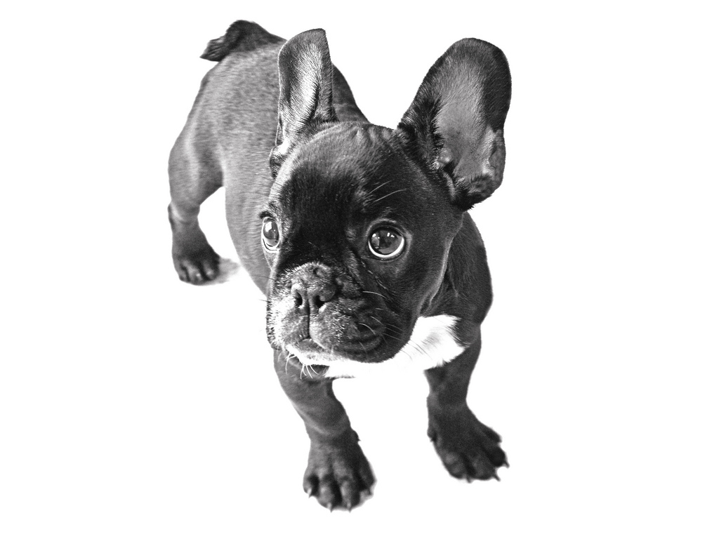 Top Bulldog Black Adorable Dog - French-Bulldog-cute-puppy-pictures-1  2018_30859  .jpg