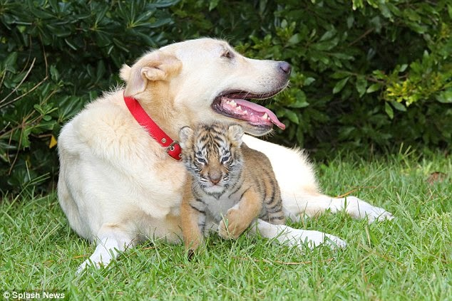 Dog acts as surrogate mother for orphaned tiger cubs (Photos)