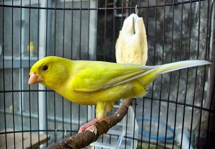 Cara Membawa Burung Ocehan yang Baik