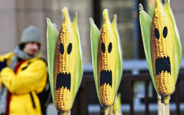 Research on Corn Pest Finds No Economic Benefit to GE Corn